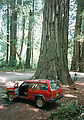 Redwoods - Greg