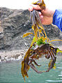 Kelp Crab With Seaweed Growing - on Back