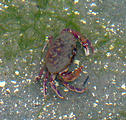 Wallace Island - Crab in Water