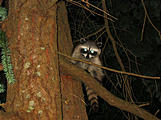 Wallace Island - Raccoon
