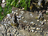 Wallace Island - Can You Spot All The Tiny Crabs?