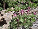 Deschutes National Forest - Odell Butte - Flowers