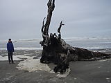 Long Beach - Beached Tree - Laura