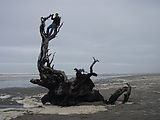 Long Beach - Beached Tree - Geoff