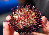 Gordon Islands - Eating Sea Urchin - Fresh Uni