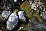 Tidepooling - Hornsby Point