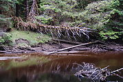 The Golden Spruce - Fallen, Dead, Across the River