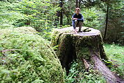 Along the Golden Spruce Trail - A Big Stump