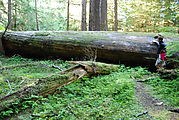 Yakoun Lake Trail - Huge Log