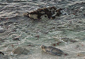Harbor Seals - Monterey