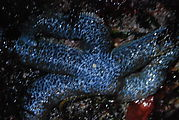 Blue Starfish: Mottled Star (Evasterias troschelii)