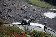 Mount Rainier National Park - Marmot
