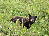 Mount Rainier National Park - Bear (close-up)