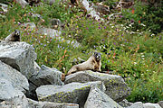 Mount Rainier National Park - Marmots