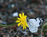 Mount Rainier National Park - Butterfly on Flower