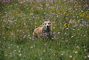 Corgi - Wildflowers on Beacon Ridge Road