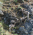 Quilomene - Camping by the Columbia River - Bighorn Sheep