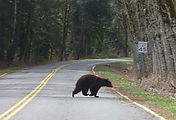Bear - Crossing Road