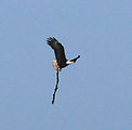 Beach - Bald Eagle with Stick