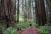 Redwood National Park - Stout Grove - Lyra - Geoff