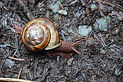 Redwood National Park - Ladybird Johnson Grove - Snail