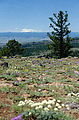 Colockum Peak - Viewpoint - Flowers