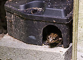 Tamarack - Frog - in Rat Trap