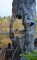 Shedroof Divide Trail - Mankato Mountain - Dead Tree Hole