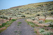 Saddle Mountains (East) - Nike Missile Site - Deer