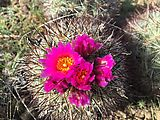 Beezley Hills - Flowering Cactus (Photo by Laura)