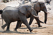 Botswana - Waterhole by the Lodge - Elephant