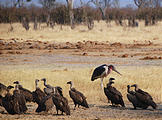 Botswana - Savute - Dead - Elephant - Vultures and a carrion-eating Marabou Stork