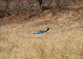 Botswana - Savute - Lilac breasted Roller