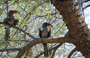 Botswana - Savute Safari Lodge - Red billed Hornbill
