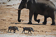 Botswana - Waterhole by the Lodge - Elephant - Warthog