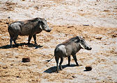 Botswana - Waterhole by the Lodge - Warthog