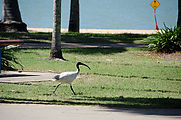 Townsville - Water Park - Bird - White Ibis