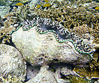 Whitsundays - Great Barrier Reef - Hardy Reef - Snorkeling - Clam