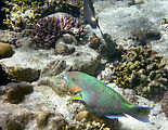 Whitsundays - Great Barrier Reef - Hardy Reef - Snorkeling - Fish