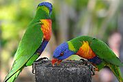Townsville - Billabong Sanctuary - Bird - Rainbow Lorikeets (Photo by Liz)