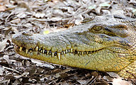 Townsville - Billabong Sanctuary - Crocodile