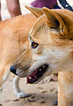 Townsville - Billabong Sanctuary - Dingo