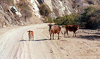 Morning - Cows on Road