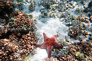 Snorkeling - Starfish on Reef (Isla Espíritu Santo)