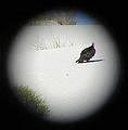 Bufeo Dunes - Turkey Vulture - Through Binoculars (12/31/2001 10:25 AM)