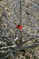 Malarrimo - Ocotillo Bloom (1/3/2002 11:12 AM)