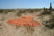 At Start of Road Heading East (from Highway 1 to up to the little town of San Francisco) - Tomatoes Dumped in Desert (1/3/2002 2:01 PM)