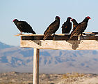 Estero Percebú (Shell Island) - Beach - Turkey Vultures