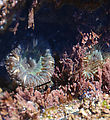 South of Punta Rosarito - Tidepooling - Anemones