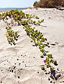 Beach - Playa San Rafael - Plant - Flower